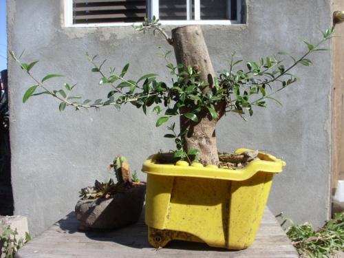 Bonsai Estaca de olivo - noe canedo