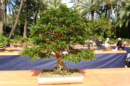 Bonsai Carpinus Turczaninovii de Jaume Canals - ilicitano