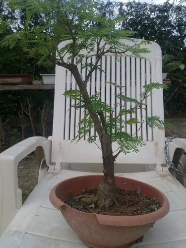 Bonsai acacia  mimosa - javel