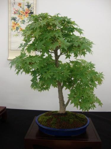 Bonsai 8698 - Bonsai Safor