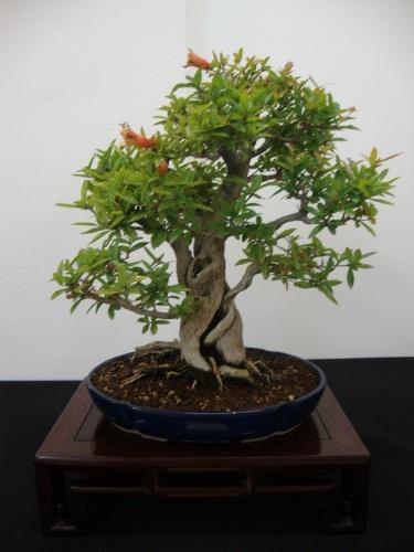 Bonsai 8702 - Bonsai Safor