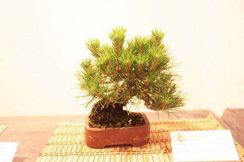 Bonsai Pino Negro Japonés - Acia Bonsai