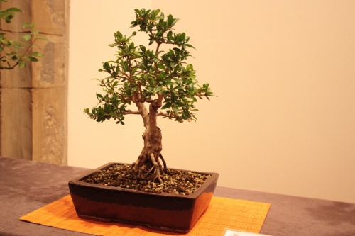 Bonsai Granado de Mari Carmen Cases Lopez - Acia Bonsai