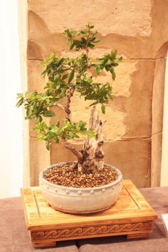Bonsai Granado de Mario Montesino Mira - Acia Bonsai