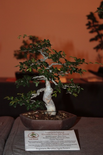 Bonsai Olmo Chino de Marcelino Tejada Romero - Acia Bonsai