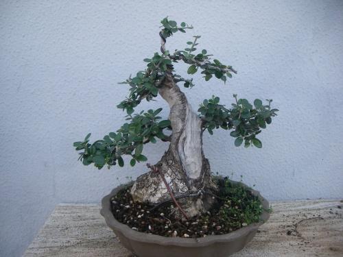 Bonsai 8894 - mihogo