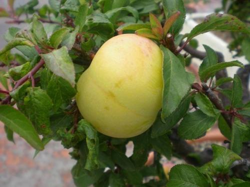 Ciruelo-A-fruto
