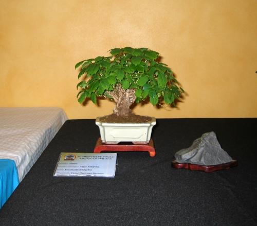 Bonsai 8910 - josegoderi
