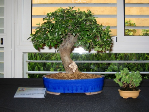 Bonsai 8914 - josegoderi