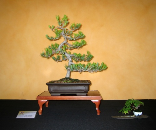 Bonsai 8918 - josegoderi