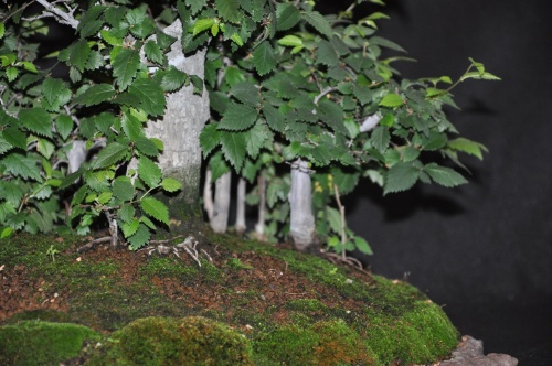 "Bonsai Ulmus glabra ""Bosque"" - josegoderi"