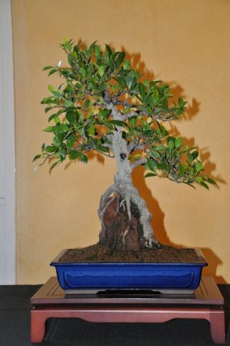 "Bonsai Ficus retusa ""Var. brevifolia"" - josegoderi"