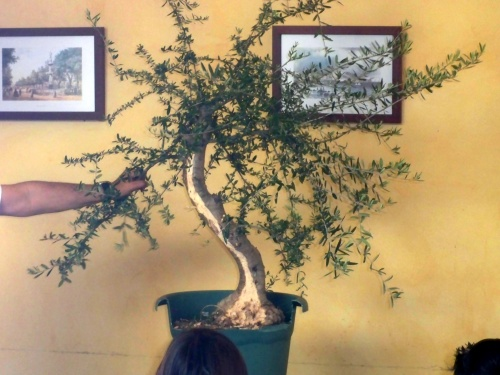 Bonsai Demostracin - josegoderi