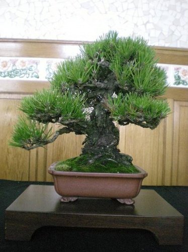 Bonsai Pino - AVBONSAI