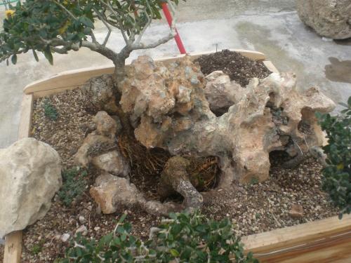 Bonsai Trasplante de olivo sobre piedra [#Sin Título#] - vicente solbes