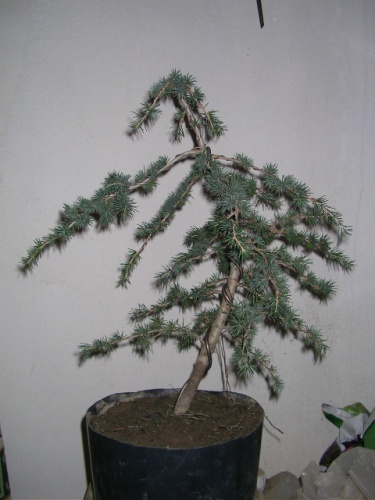Bonsai cedro - joaquin21
