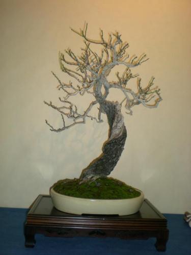 Bonsai 9670 - peniscola