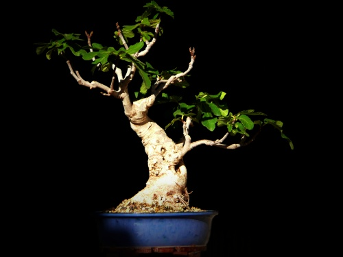 Bonsai higuera - carmela