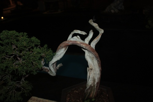 Bonsai Sabina Rastrera - Bonsai Oriol