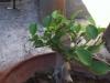 Ficus y problemas con raices
