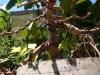 Prebonsai Ficus Retusa