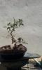 Nº 13   Ficus Retusa 'El Moli'