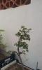 Olmo planton sacado en noviembre del 2012