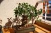 Ficus Retusa - Progresión de mi bonsái