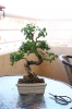 Bonsai Aligustre