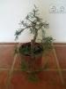 algunos de mis bonsais