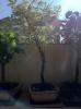 acer palmatum kagiri-nishiki